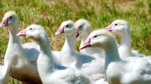 vidéos et rushes de troupeau d'animaux domestiques des oies blanches dans le parc sur terrain de gazon - apprivoisé