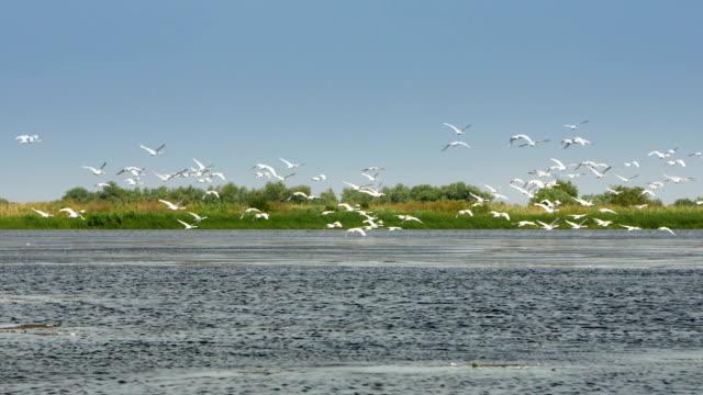 Flock of white swans in flight