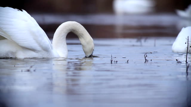 Flock of white swans swiming in the pond. video