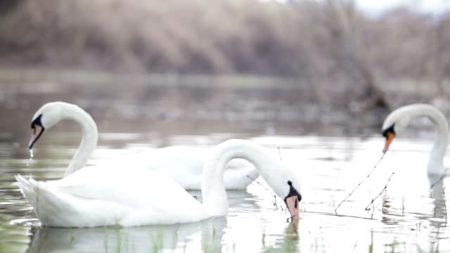 Flock of white swans swimming in the water video