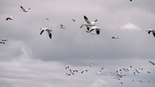 Flock of White Wild Goose video