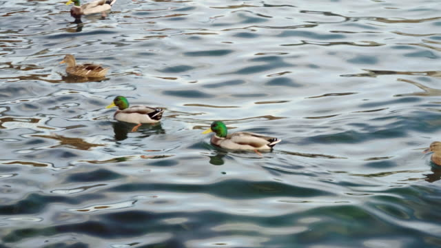 Flock of wild birds. Ducks swimming in The Black sea. 4K Group of ducks swimming in duck pond in Crimea. Seascape of The Black sea. 4K water bird stock videos & royalty-free footage