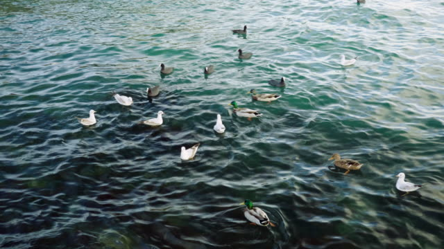 flock of wild birds. group of ducks and gulls or seagulls swimming in duck pond in crimea. seascape of the black sea. 4k - {{relatedsearchurl(carousel.phrase)}} video stock e b–roll