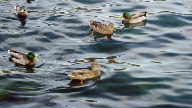 flock of wild birds. group of ducks and gulls or seagulls swimming in duck pond and eating bread thrown into water by tourists in crimea. seascape of the black sea. 4k - {{relatedsearchurl(carousel.phrase)}} video stock e b–roll