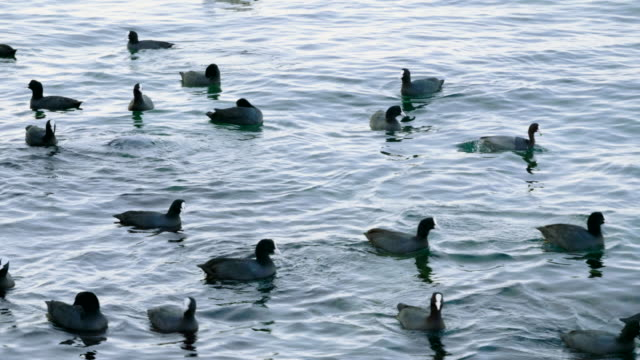 Flock of wild birds. Group of ducks and gulls or seagulls swimming in duck pond in Crimea. Seascape of The Black sea. 4K