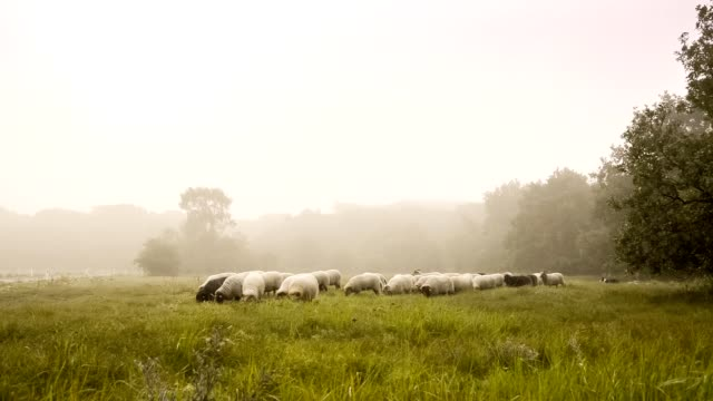 flock with many sheep in holland, one early foggy day - ovino video stock e b–roll