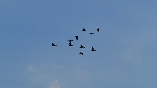 flockar av röda pelikaner flygande - djurlem bildbanksvideor och videomaterial från bakom kulisserna