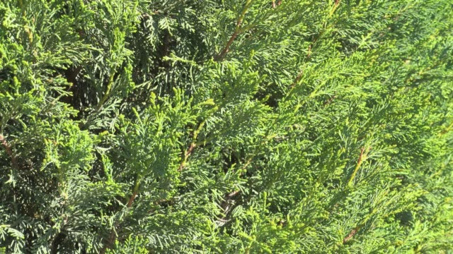 Floral background, arborvitae branch with fresh green needle. video
