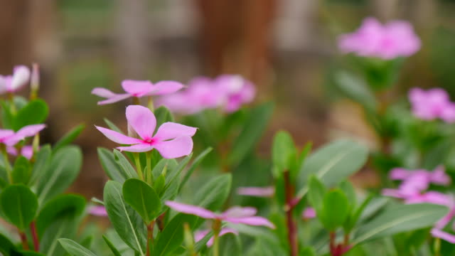 Floral background, Tropical flower Pink Adenium video