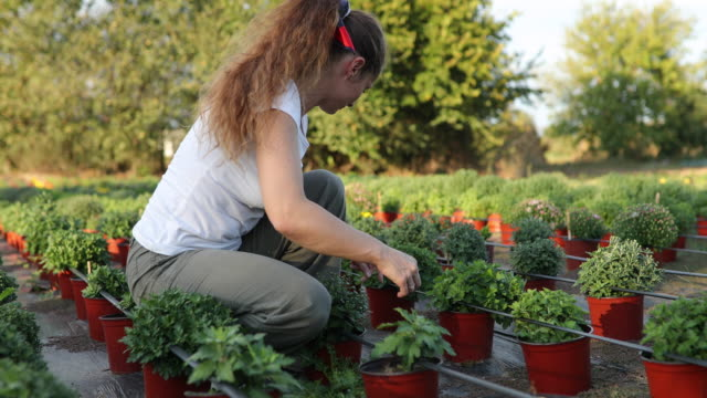 Florist potting flowers on the flower farm Woman florist working on the flower farm and potting flowers potted plant stock videos & royalty-free footage