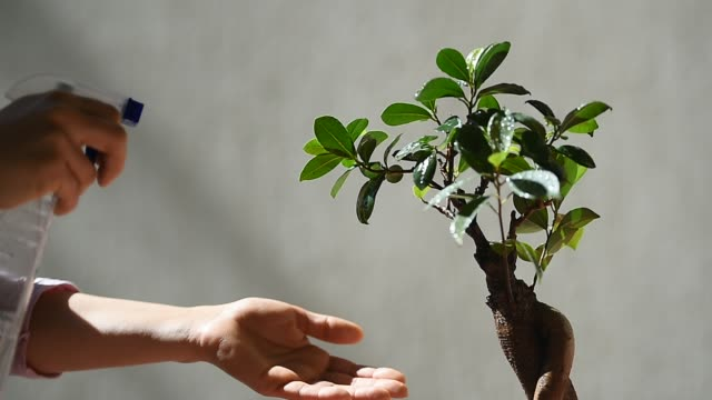 Florist spraying water over a little bonsai tree placed in the sun