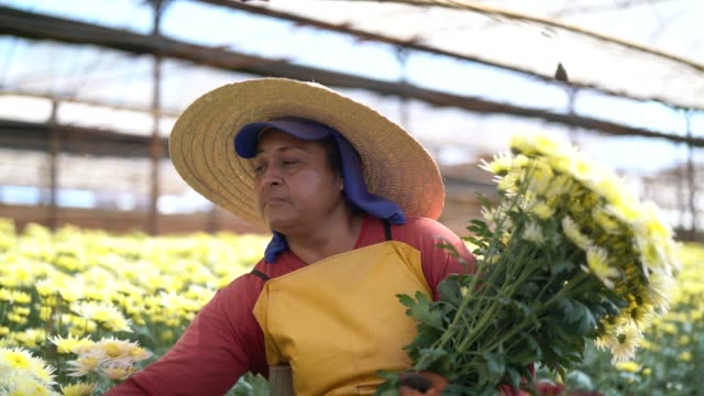花屋女性 holambra、サンパウロ、ブラジルでの温室で働く - ブラジル文化点の映像素材/bロール