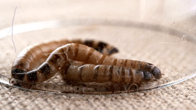 Flour castaneum,larvae,caught and covered with glass video