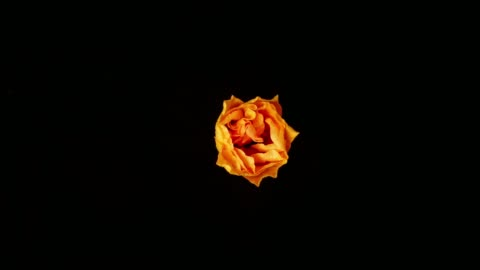 vídeos de stock e filmes b-roll de flower blooming on black background - florescer
