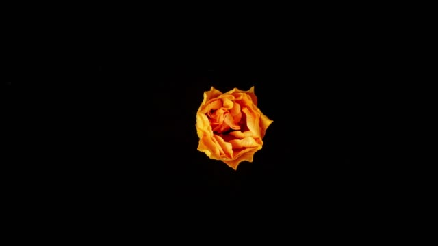 flower blooming on black background - fiori video stock e b–roll