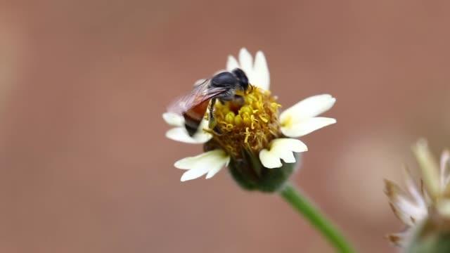 vídeos de stock e filmes b-roll de flower bumble bee - flower white background