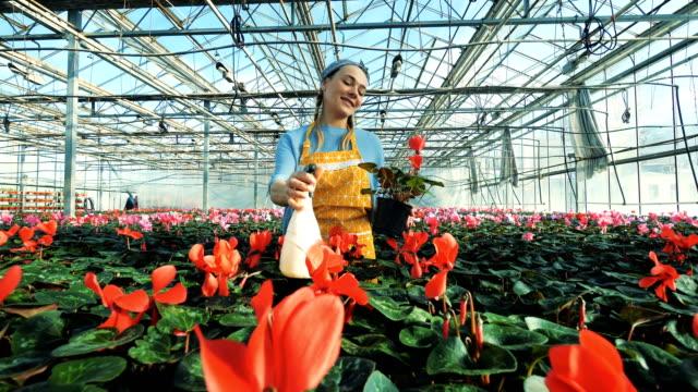 Fleur dans une serre chaude obtient pulvérisé par une dame - Vidéo