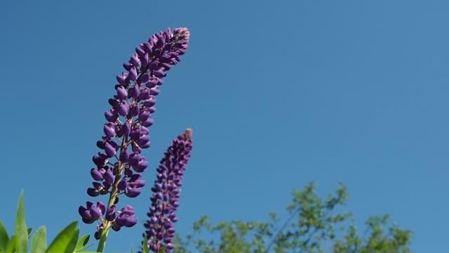 Flower Lupinus macro.