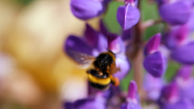 Flower Lupinus swaying in the wind. Bumblebee collecting pollen.