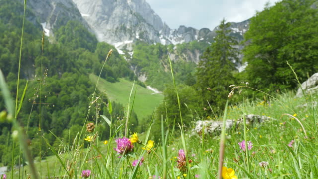 Flower meadow with Austrian mountains in the background