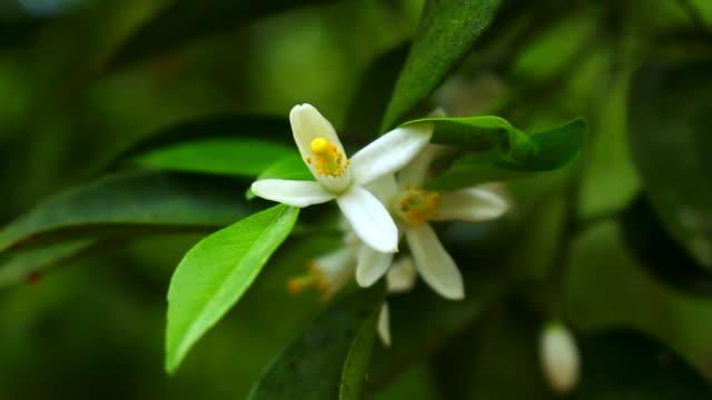 Flower of Citrus