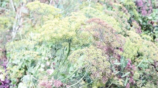 stockvideo's en b-roll-footage met bloem van groene dille venkel. natuurlijke achtergrond met bloemen van dille - venkel