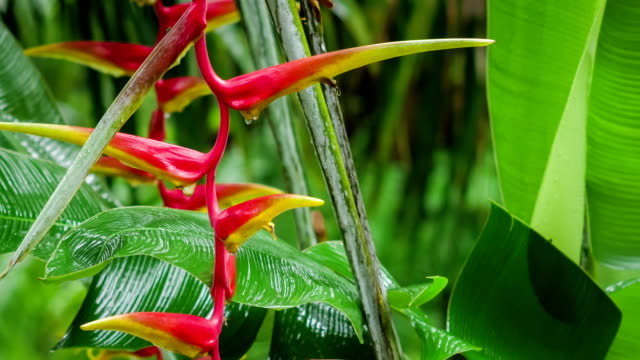 flower of red heliconia in rainy drops. starting of wet season. lush green plants foliage in background - pianta sempreverde video stock e b–roll