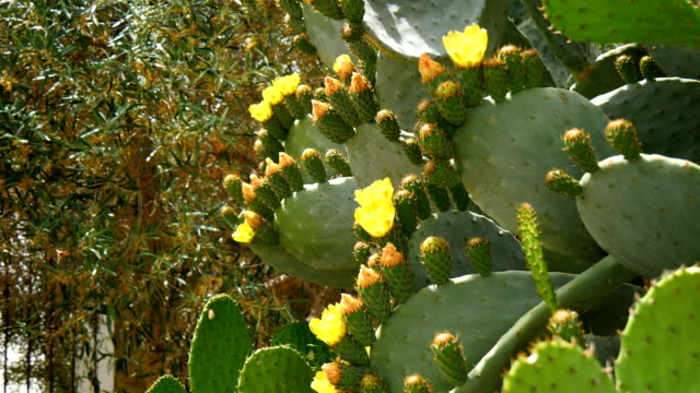 Flower of the prickly pear video