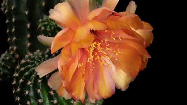Flower Orange Timelapse Of Blooming Cactus