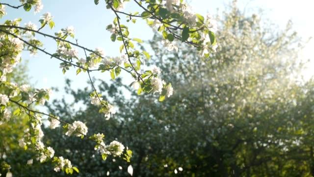 vídeos de stock e filmes b-roll de flower petals falling from the tree, sunny summer, slow motion - pétala