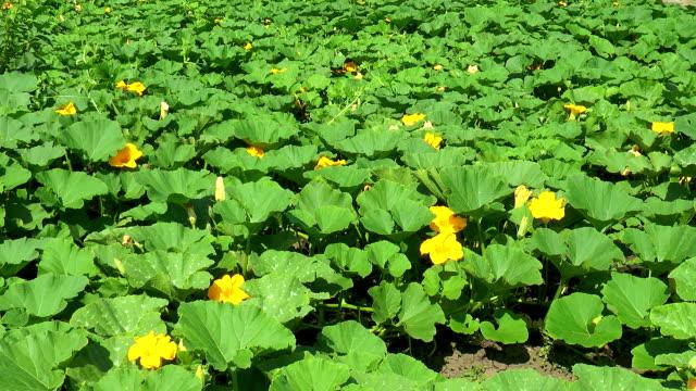 flower plantation of pumpkins - zucca legenaria video stock e b–roll