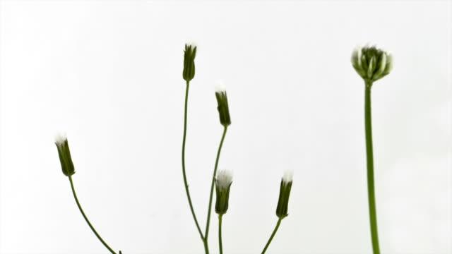 vídeos de stock e filmes b-roll de flor tentação - flower white background