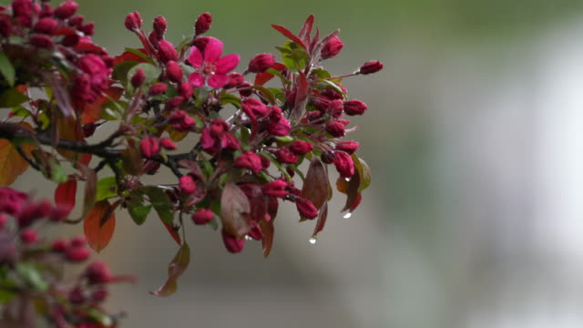 Flower tree branch dripping as it rains