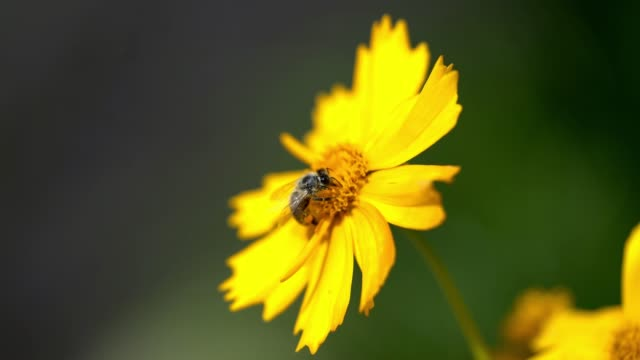 flower with bee, pollination - coreopsis lanceolata video stock e b–roll