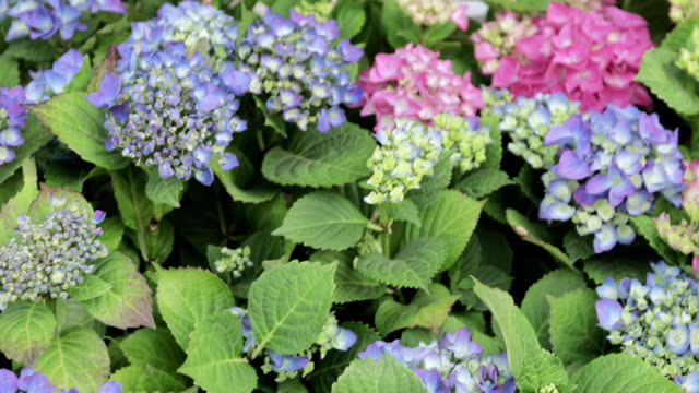 blumenbeete - hortensie stock-videos und b-roll-filmmaterial