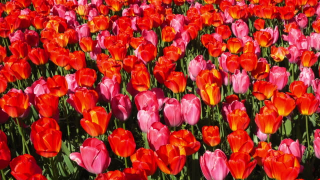 Flowerbed With Tulips video