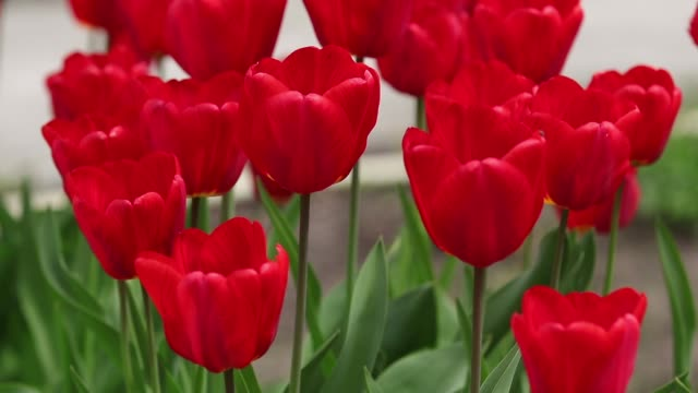 Flowerbeds of star tulips tulips in the springtime video