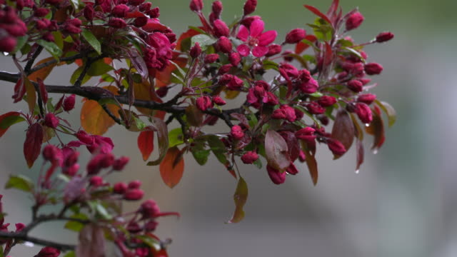 Flowered Crab Apple branch in the rain