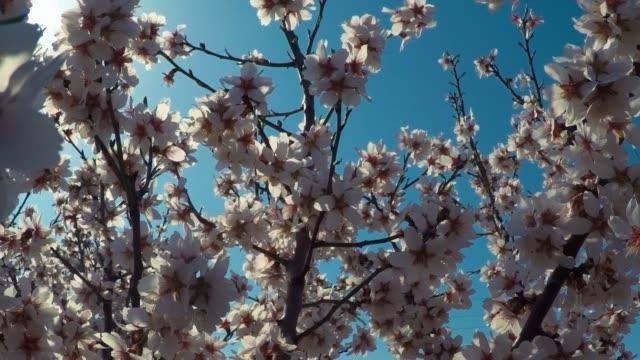 vídeos de stock e filmes b-roll de flowering almond tree against a background of blue sky and sun rays - amendoas