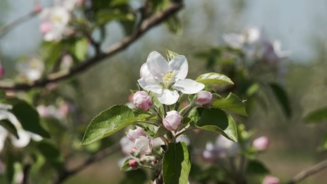 flowering branch of fruit tree. close-up. - albicocco video stock e b–roll