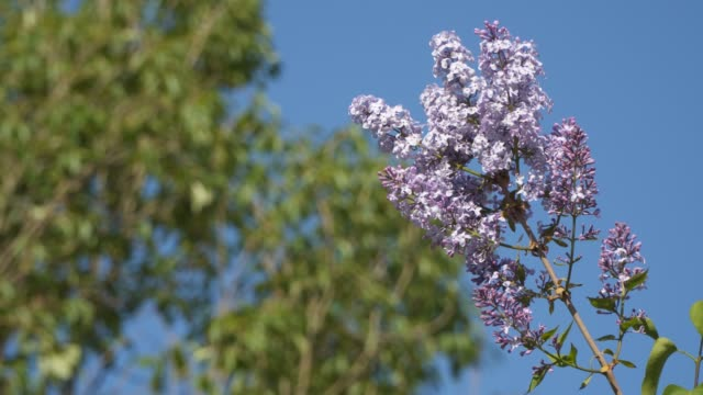 flowering branch of lilac against the blue sky - stame video stock e b–roll