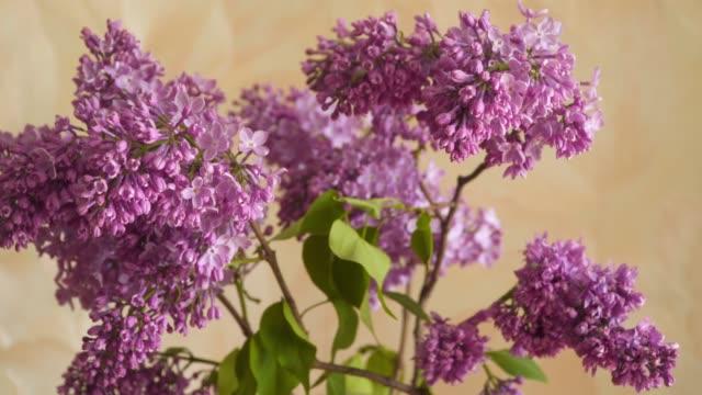 flowering branch of lilac - pistillo video stock e b–roll