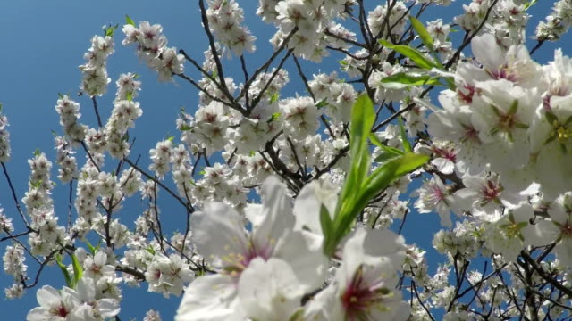 Flowering branches and young leaves of almonds against the blue sky video