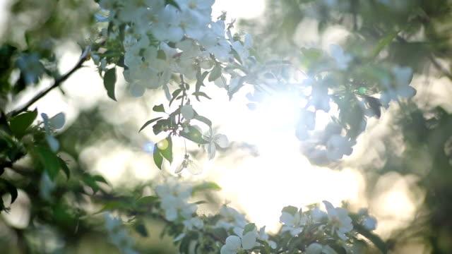 blommande grenar av äppel träd och solens strålar. - fruktträdgård bildbanksvideor och videomaterial från bakom kulisserna
