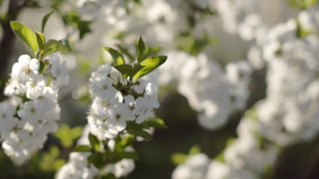 flowering branches of fruit tree. close-up. - albicocco video stock e b–roll