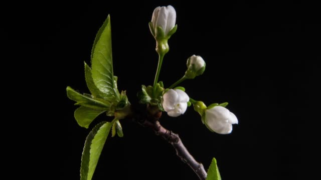 Flowering branches on a black background