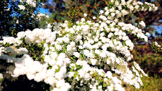 Flowering Bush Spiraea White Flowers Hd Stock Video More Clips Of