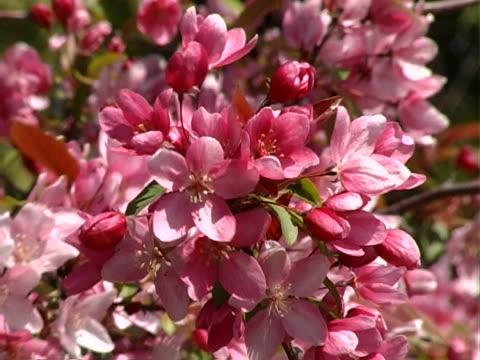 flowering bush - 枝 植物部分 個影片檔及 b 捲影像
