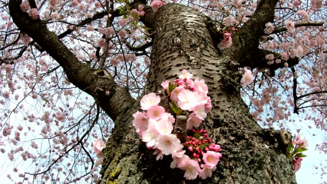 Flowering cherry, Japanese flowering cherry, Prunus serrulata, cherry blossom video