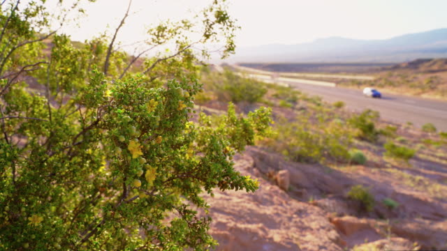 Flowering Creosote Bush in Arizona desert at early spring, Static video